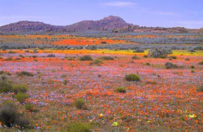 Rainbow flowers of Namaqualand