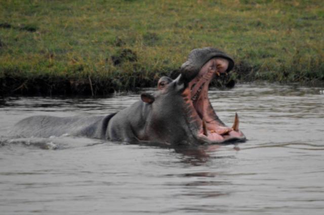 Hippo - Caprivi