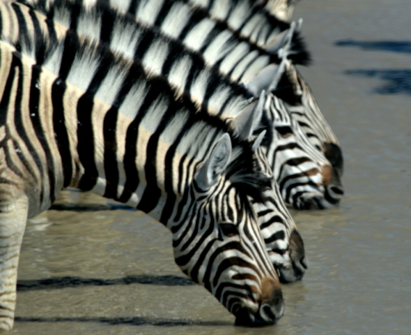 Zebra - Etosha