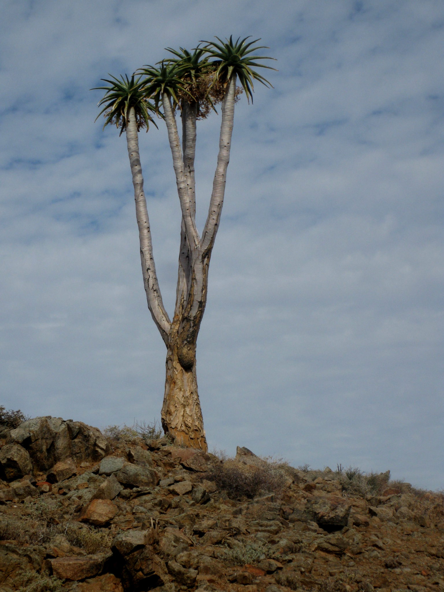 Quiver Tree - Richtersveld