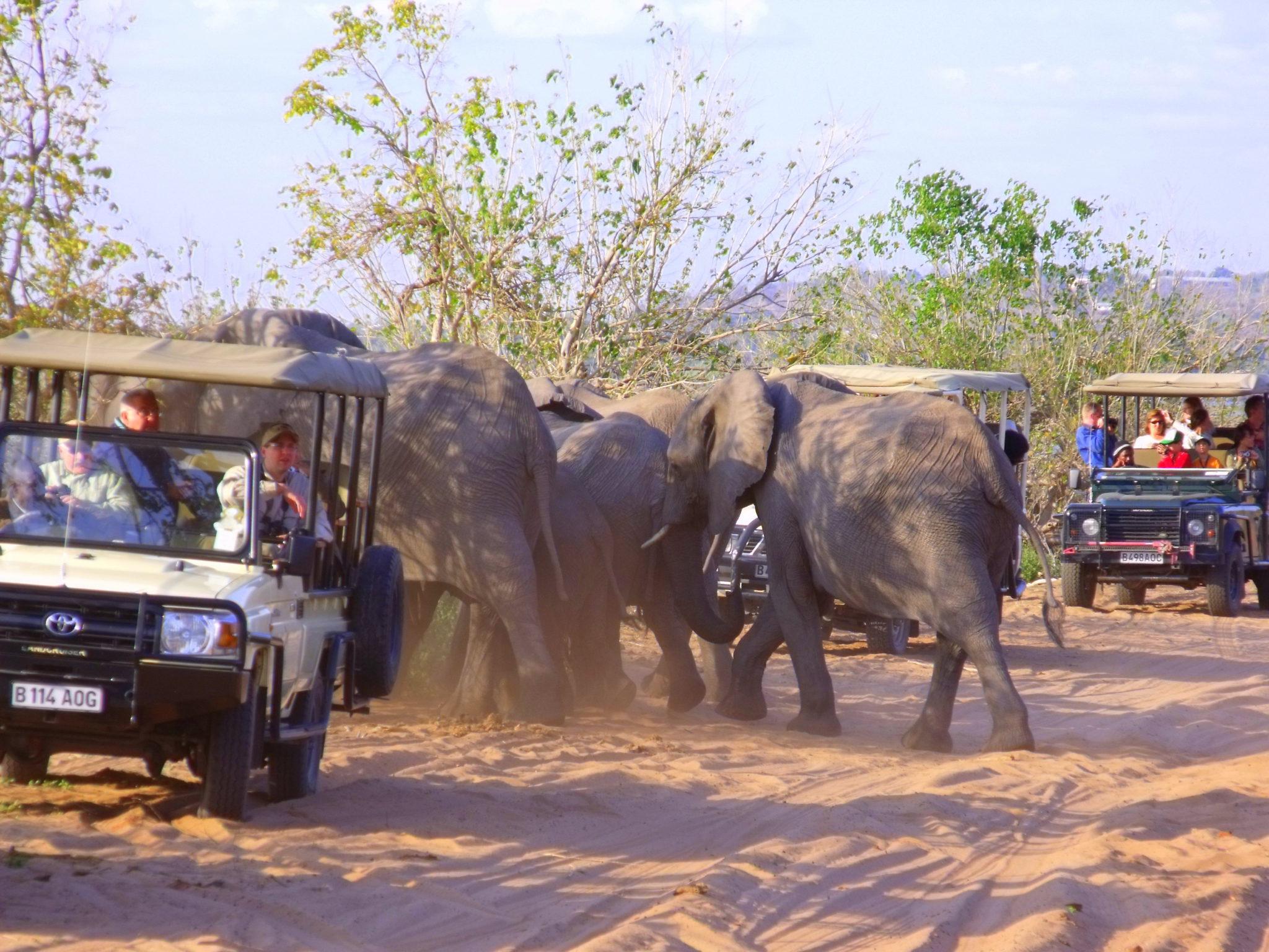 Elephants - Caprivi