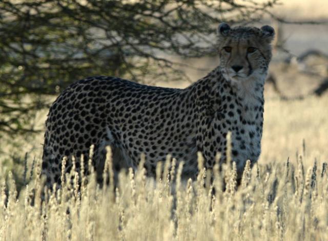 Kalahari Cheetah