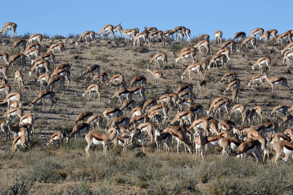 Kalahari Springbok