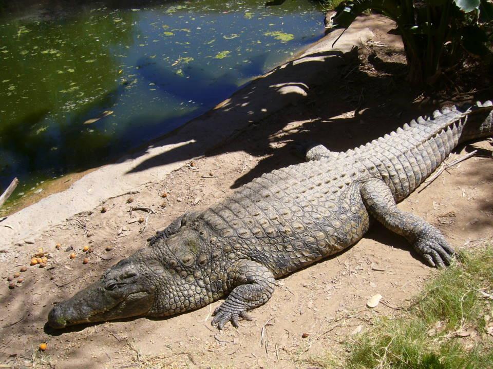 Croc - Cango Ranch