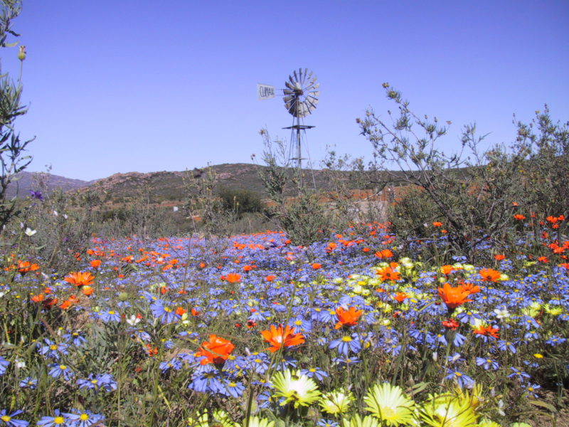 Spring flowers of the cape landscape tours namaqua flowers purple haze mightylinksfo