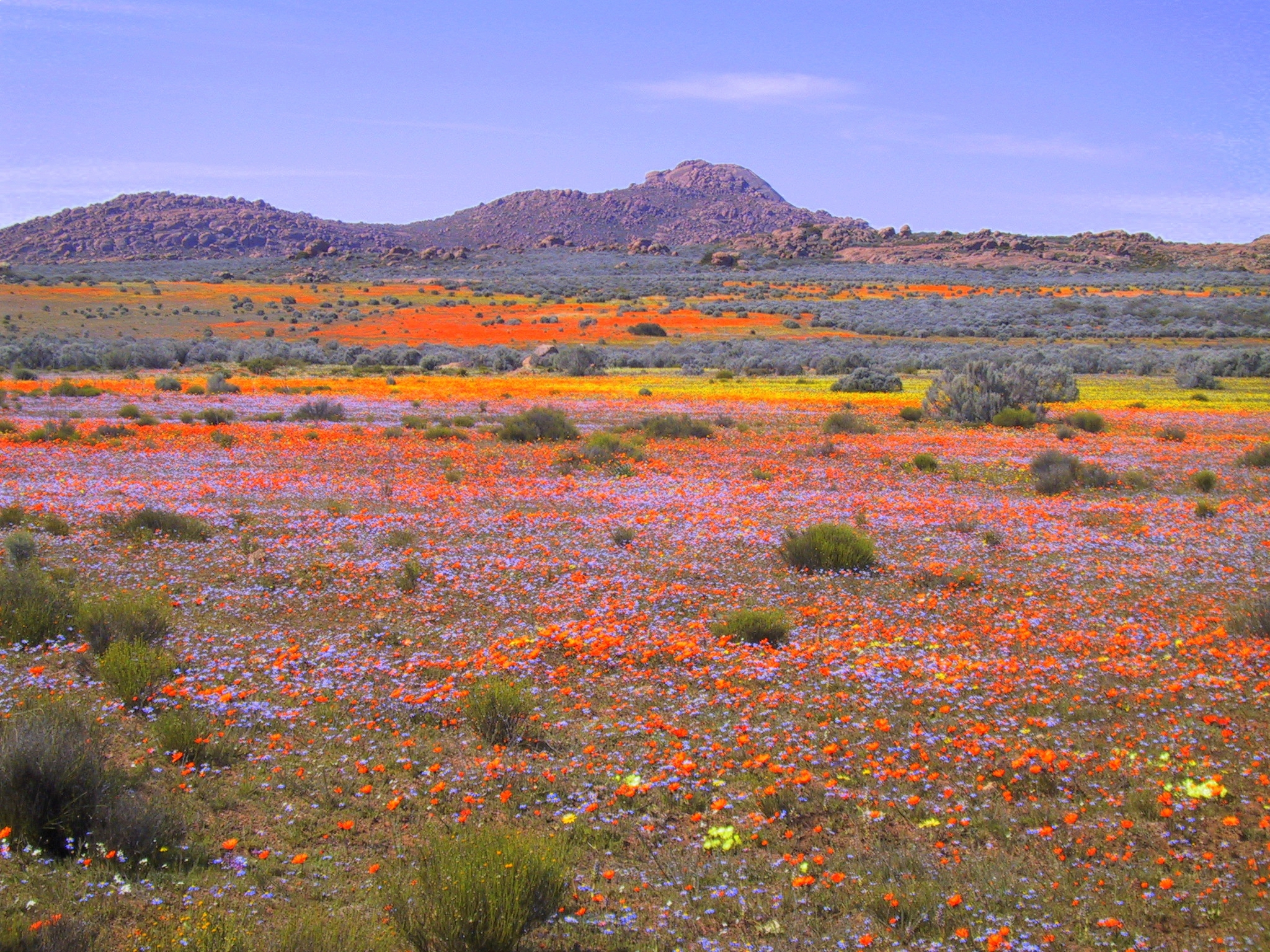 Flowers of Namaqualand