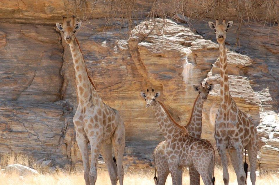 Giraffes in the Hoanib River bed
