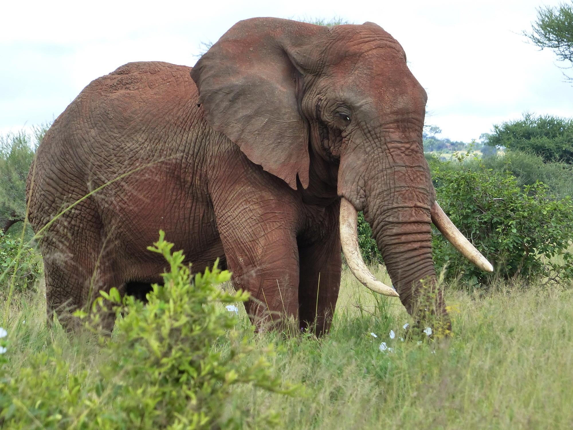 Big tusker - Serengeti
