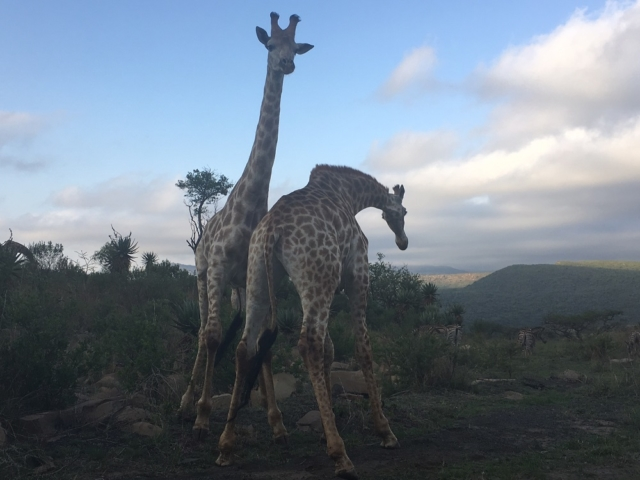 Giraffe at Fugitives Drift