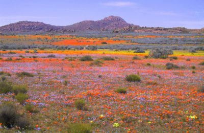Rainbow flowers of Namaqualand