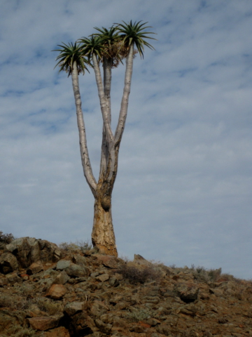 Quiver Tree - Richtersveld