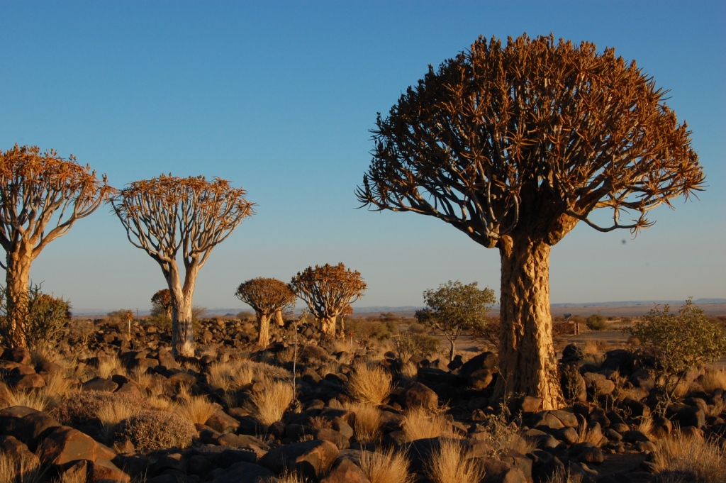 Kokerboom - Namibia