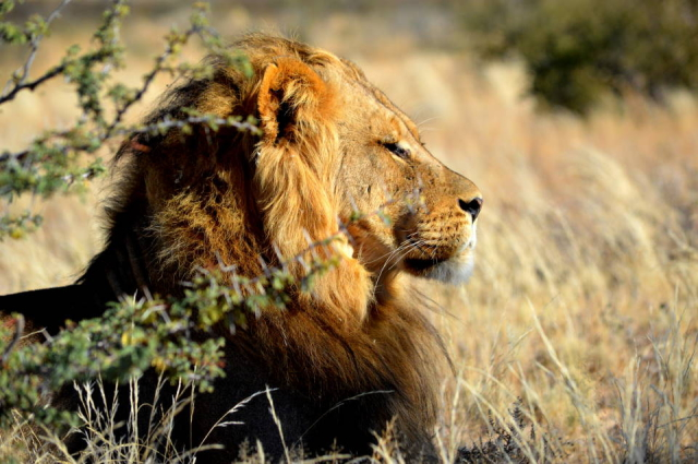 Lion of the Kalahari