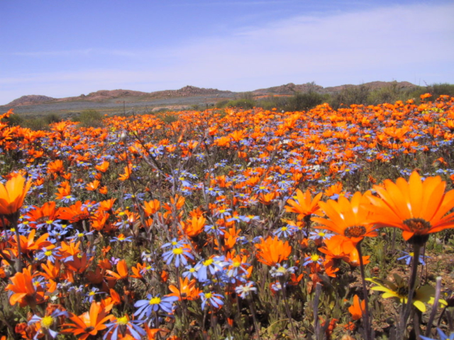 Namaqua Flowers - Orange Burst
