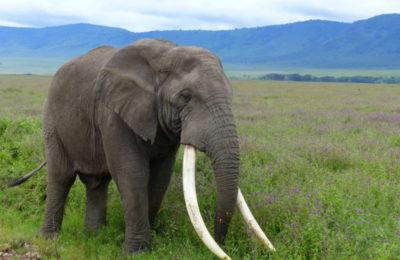 Large tusker - Serengeti
