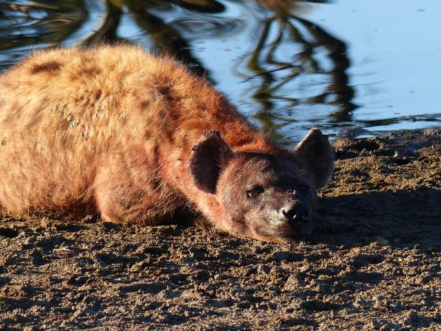 Lazy Hyena - Serengeti