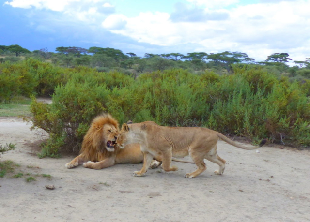 Lion pair - Serengeti