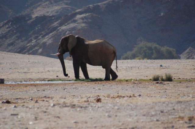 The elusive Desert Elephant